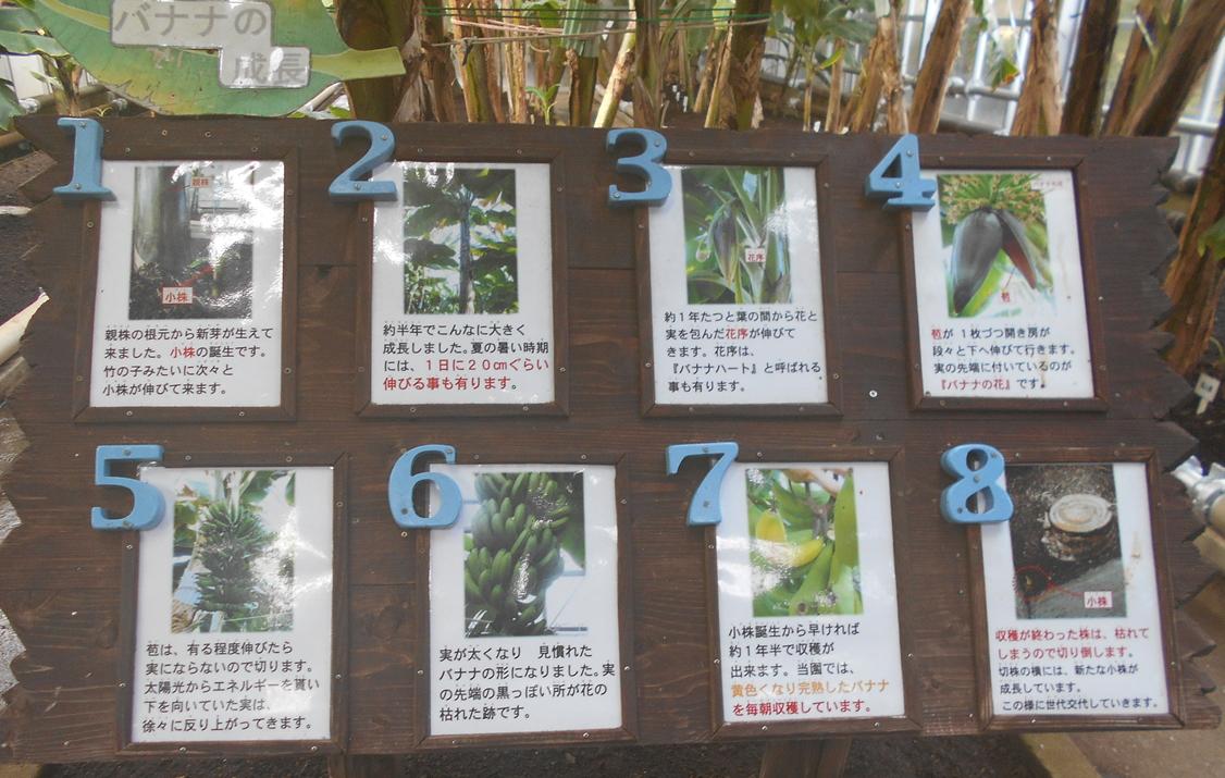 熱川バナナワニ園のバナナの成長