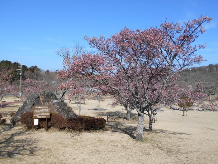 駐車場の寒桜