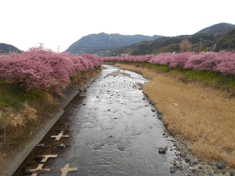河津川沿いに咲く河津桜並木