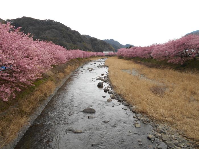 ピンクの綺麗な河津桜並木